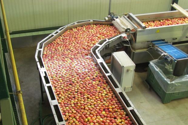 Zapowiadają się dobre zbiory jabłek