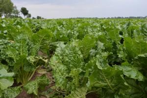 Dobry stan plantacji buraków cukrowych