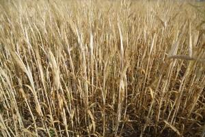 Czy komisje zdążą oszacować straty po suszy?