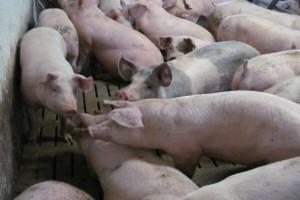 Upały sprzyjają agresji wśród świń