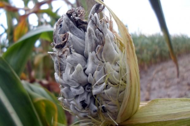 Stres suszy w kukurydzy może skutkować porażeniem roślin głownią