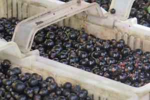 Nalewajk: producenci porzeczek mogą dostać 800 zł wsparcia do hektara