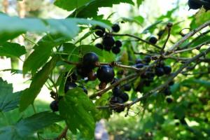Wysokość pomocy dla plantatorów porzeczek jest obecnie negocjowana