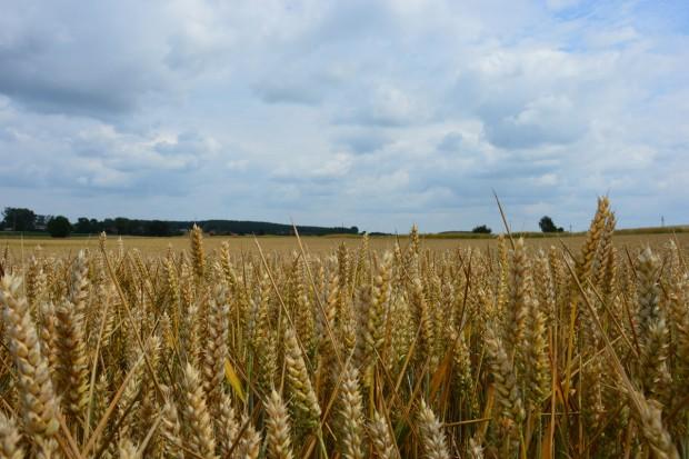 Całkiem dobre zbiory pszenicy na zachodzie Europy