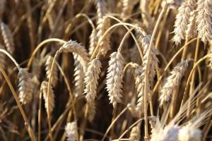 Nieznaczny wzrost cen na rynku zbóż