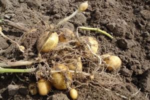 Zróżnicowany stan plantacji ziemniaków