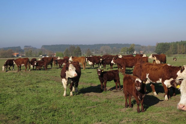 Ożywienie na rynku wołowiny