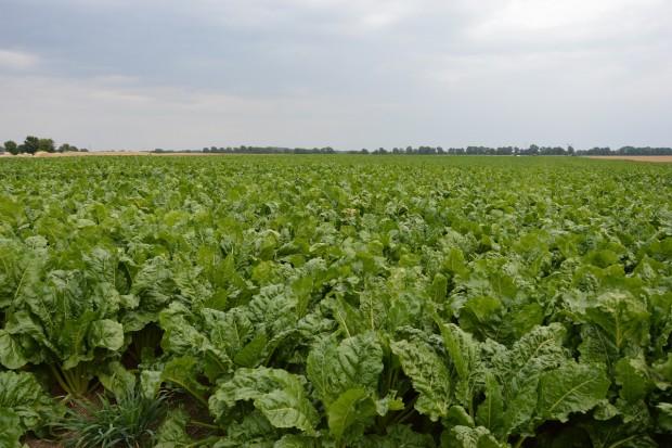 KE: prognoza plonów roślin okopowych