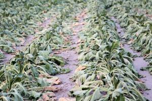 Susza i upały zagrożeniem dla plonu buraków cukrowych