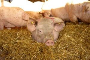 Parowane ziemniaki – ostrożnie w żywieniu zwierząt rozpłodowych