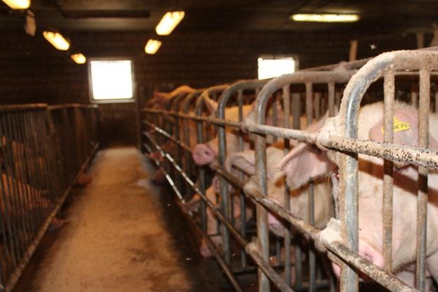 Niemcy podwyższają standardy dobrostanu w produkcji świń