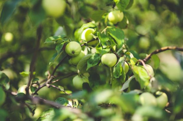 UE: Mniej jabłek i gruszek
