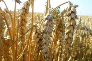 Średnie plony pszenicy w spółce IMC