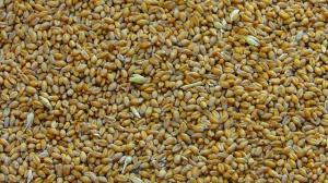 USDA: Wzrosła prognoza produkcji pszenicy w sezonie 2015/2016