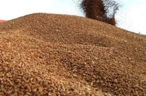 Ukraina: Mniejsze zapotrzebowanie na zboża na własnym rynku