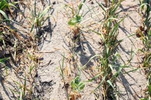 Międzyplony usychają na polu, z powodu suszy wstrzymano zakładanie nowych zasiewów