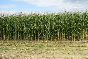 Przędziorek chmielowiec na kukurydzy