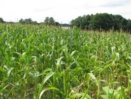 Sawicki o suszy: pomoc dla rolników bardziej socjalna, nie odszkodowawcza
