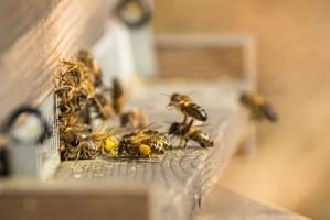 UE: Mimo zakazu stosowania neonikotynoidów większa śmiertelność pszczół