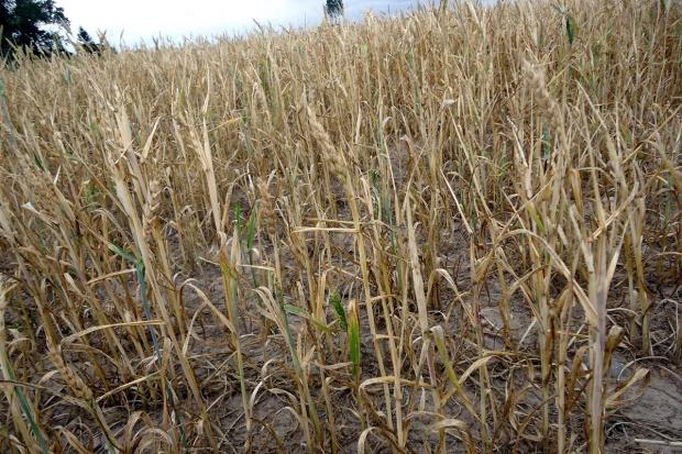 PZPRZ apeluje o wsparcie rolników dotkniętych klęską suszy