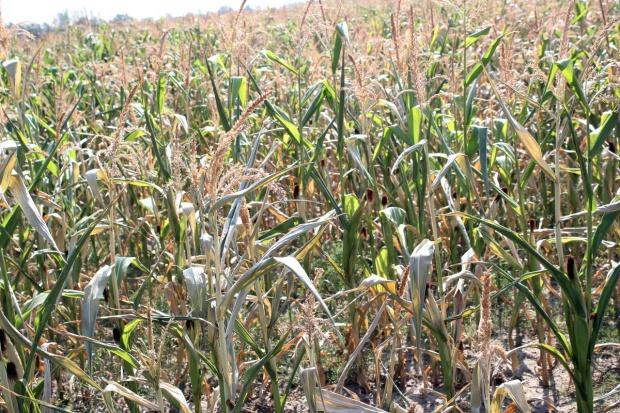 Pomoc socjalna po suszy: 1 tys.- 2 tys. dla gospodarstwa