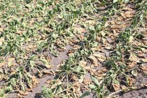 Ministerstwo jeszcze nie wie, jak pomoże po suszy?