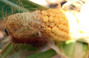 Kukurydza zasycha – nie warto zwlekać z koszeniem na kiszonkę
