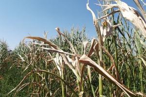 Energia z cukrowni w zastępstwie kukurydzy