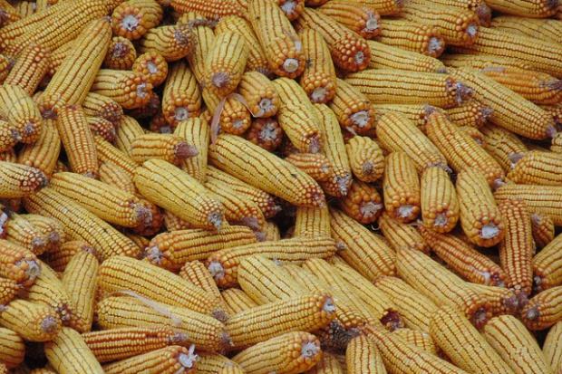 Kanada: Znacznie mniej pszenicy i rzepaku, więcej kukurydzy
