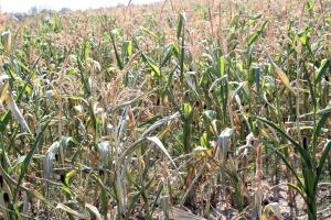 Czy rolnicy mogli ubezpieczyć się od suszy?