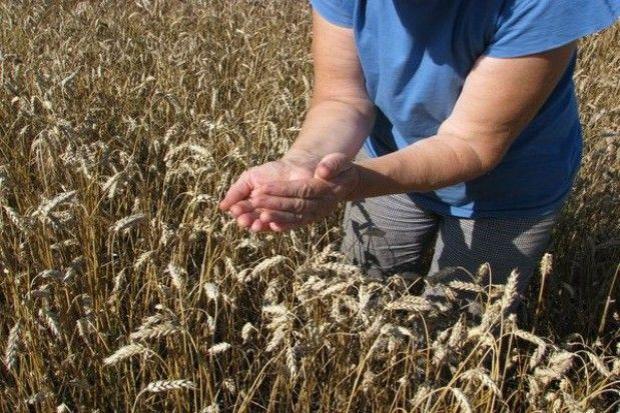 Plonowanie pszenicy w badaniach COBORU zaskakująco wysokie