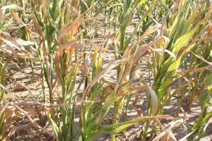 Niskie plantacje kukurydzy, z kolbami zredukowanymi powinny być jak najszybciej zebrane na kiszonkę