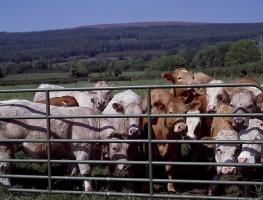 USA: Wzrost pogłowia bydła po raz pierwszy od 2006 r.