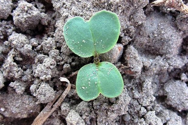 Pchełki ziemne mogą atakować rzepak już w fazie liścieni