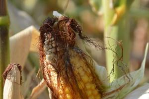 Kukurydzy doskwiera susza