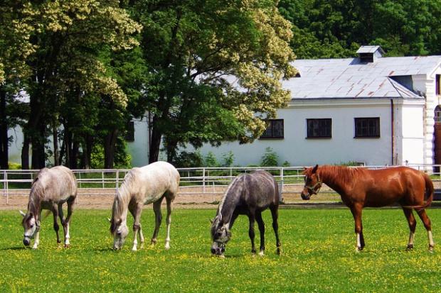Pokaz koni arabskich Al Khalediah