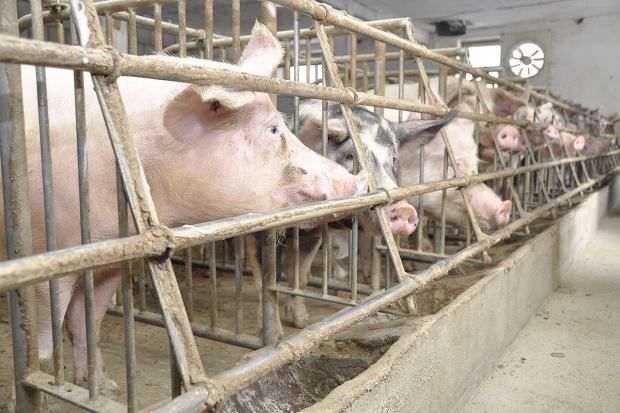 Żywienie loch musi dorównać hodowli