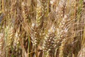 Zalecane odmiany pszenicy ozimej
