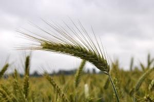 Niewykorzystany potencjał odmian