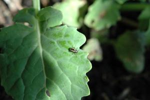 Jesienna ochrona rzepaku przed szkodnikami