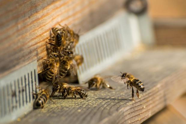 Naukowcy chcą wyjaśnić przyczyny wymierania pszczół