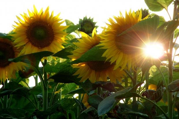 Ukraina: Spadek produkcji i eksportu oleju słonecznikowego