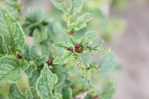 Larwy II pokolenia stonki ziemniaczanej powodują gołożery roślin