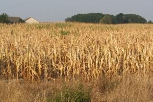 Szacowanie strat po suszy można pominąć?