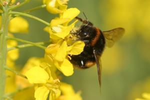 EFSA: Nalistne stosowanie neonikotynoidów też szkodliwe dla pszczół