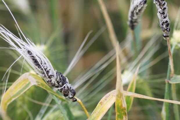 Zaprawianie ziaren zbóż przed siewem