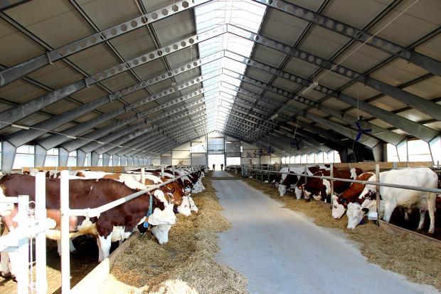 Zawalczyć o długowieczne krowy