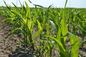 Oczekiwania od hodowli kukurydzy