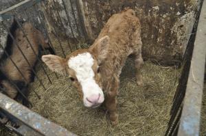 GUS: W 2014 r. rosła produkcja mleka, jaj i żywca rzeźnego