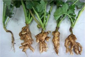 Fungicydem w kiłę kapusty